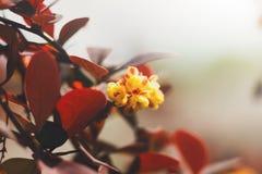 Bérberis que floresce, projeto da paisagem, jardinando Imagens de Stock Royalty Free
