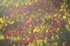 A bérberis suculenta vermelha cresce no arbusto verde-amarelo nos raios do fundo do por do sol em Ucrânia fotografia de stock royalty free