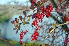 A bérberis vermelha no ramo com folhas foto de stock royalty free