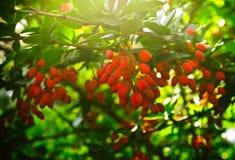 Bérberis vermelha no sol e na folha verde Imagem de Stock