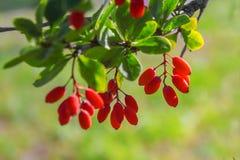 A bérberis vermelha pendura em um ramo imagens de stock