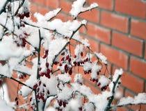 Bérbero cubierto con nieve Imagen de archivo libre de regalías