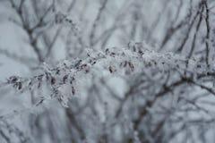 Bérbero en Frost Fotos de archivo libres de regalías