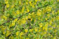 Bérbero floreciente Foto de archivo