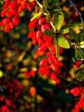 Bérbero rojo apetitoso fresco en la ramificación. Fotos de archivo libres de regalías