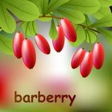 Bérbero rojo, jugoso en una rama para su diseño Vector Foto de archivo libre de regalías