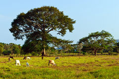 Bétail étendus cultivant dans le climat tropical Images libres de droits