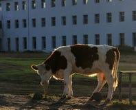 bétail Image libre de droits
