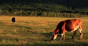 bétail Image stock