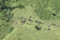 bétail Photographie stock libre de droits