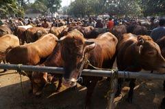bétail Images stock