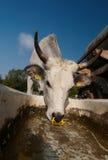 bétail Photo libre de droits