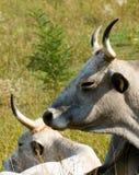 bétail Photos libres de droits