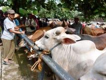 bétail Images libres de droits