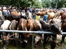 bétail Photographie stock