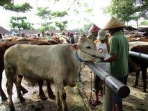 bétail Photos stock