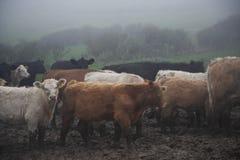 bétail Photo stock