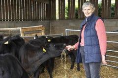 Bétail alimentants de fermier dans la grange Image stock