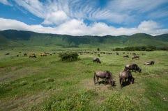Bétail au cratère de Ngorongoro, Tanzanie Image stock