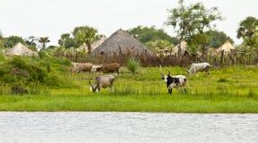Bétail au fleuve de Nil au Soudan du sud Photos libres de droits