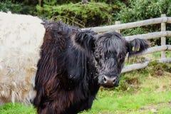 Bétail ceinturés de Galloway, chasse de Cannock image libre de droits
