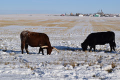 Bétail d'hiver images libres de droits