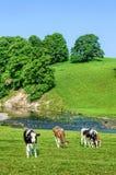 Bétail dans le domaine à côté de la rivière Bela dans Cumbria, Angleterre Image stock