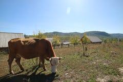 Bétail dans le village le Xinjiang de Hemu Images libres de droits