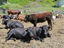 Bétail dans les Alpes italiens chez la vallée d'Aoste Image libre de droits