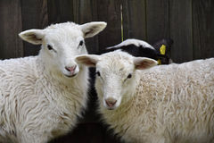 Bétail de famille de moutons à une ferme avec de jeunes agneaux photographie stock libre de droits