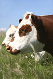 Bétail de Hereford Images stock