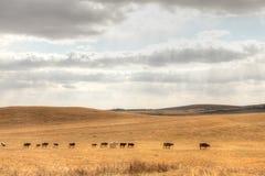 Bétail de prairie Photographie stock libre de droits