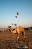 Bétail de Pushkar justes Photographie stock
