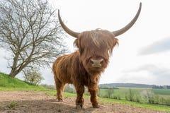 Bétail des montagnes écossais Photos libres de droits