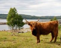 Bétail des montagnes écossais sur le pâturage Images libres de droits