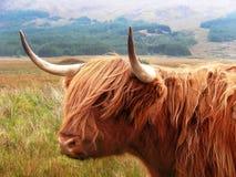 bétail des montagnes Photo libre de droits
