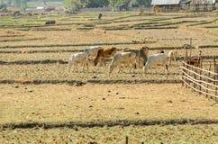 Bétail des vaches dans la sécheresse de champ Photographie stock libre de droits