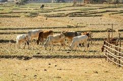 Bétail des vaches dans la sécheresse de champ Image libre de droits