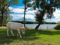 Bétail du charolais dans le pâturage par le lac images stock