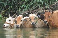 Bétail en rivière Images libres de droits