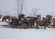 Bétail et chutes de neige photographie stock