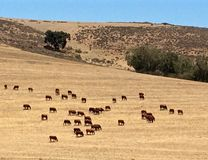Bétail et veaux de l'Afrique du Sud frôlant à la ferme Photographie stock
