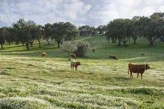 Bétail frôlant dans la plaine de l'Alentejo photographie stock