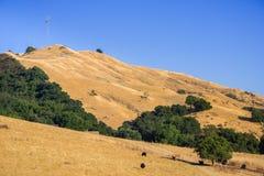 Bétail frôlant sur les collines d'or de la conserve de crête de mission Image stock
