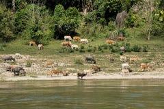 Bétail frôlant sur les banques de la rivière photographie stock libre de droits