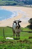 Bétail frôlant sur une plage Photo libre de droits