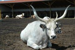 Bétail gris hongrois dans une ferme étendue photo stock