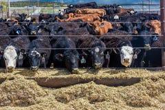 Bétail - Hereford mangeant le foin en fourrage de bétail, La Salle, Utah Images libres de droits