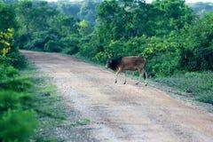 Bétail marchant en parc national de Yala dans Sri Lanka Images stock