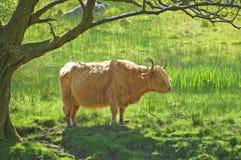 Bétail ou vache des montagnes sous un arbre. l'Ecosse Photos stock